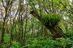 Lush tropical vegetation in Pihea trail Stock Photo