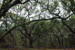 Big Talbot Island State Park, Florida, USA. Lush tropical woods with abundant Spanish moss draping branches of live oak trees at Big Talbot Island State Park stock images