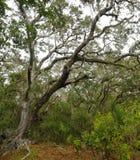 Lush tropical woods with abundant Spanish moss draping branches of live oak trees, Big Talbot Island State Park, Florida, USA. Lush tropical woods with abundant stock photos