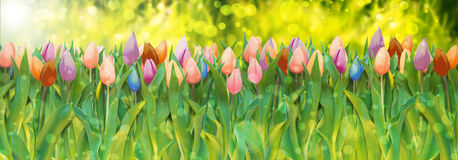 Lush tulips. Bouquet of tulips in various colors on lush green grass meadow background with bokeh and flare Stock Images