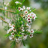 Lush twig of myrtle Chamelaucium with  needles and white flowers. Royalty Free Stock Images