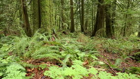 Lush Undergrowth Pacific Northwest Forest. A dolly shot past a tree in a temperate rainforest of the Pacific Northwest stock footage