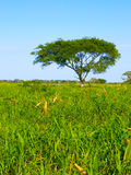 Lush vegetation of amazonian pampas stock images