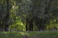 Lush vegetation in the Danube meadow 1. On the lower Danube there are many secondary canals that conserve wild flora and fauna Royalty Free Stock Image