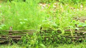 Lush vegetation. Neglected wicker garden with lush vegetation stock footage