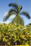Lush Vegetation Palm Trees Royalty Free Stock Photography