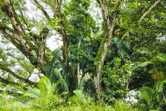 Lush vegetation in tropes, trees. Overgrowing trunks with lush vegetation in Panama Stock Image