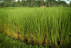 Balinese Rice Growing. Lush verdant green rice stalks growing on a plantation in Ubud, Bali, Indonesia. Balinese rice is some of the best tasting in the world Stock Photo