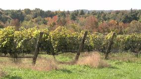 Lush vineyards (2 of 4) stock footage