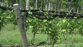 Lush vineyards (1 of 4) stock video footage
