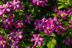 Lush Violet Clematis Flowers in Bloom Stock Images