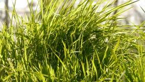 Lush weeds in wind,grassland. stock footage