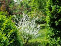 Lush white bush young willow Salix integra Hakuro-Nishiki edging evergreen boxwood in the garden. Blooming roses. In the background stock photos