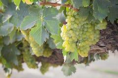 Lush White Grape Bushels Vineyard in The Morning Sun Royalty Free Stock Photography