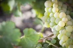 Lush White Grape Bushels Vineyard in The Morning Sun Stock Images