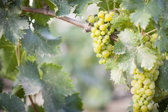 Lush White Grape Bushels Vineyard in The Morning Sun Royalty Free Stock Photos