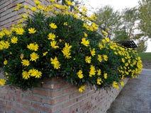 Lush yellow daisies Stock Image