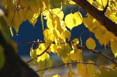 Lush yellow foliage of apricot tree backlit by soft sunlight. Warm weather, sunny day, good autumn mood. Royalty Free Stock Photography