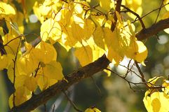 Lush yellow foliage of apricot tree backlit by soft sunlight. Warm weather, sunny day, good autumn mood. Stock Images