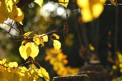 Lush yellow foliage of apricot tree backlit by soft sunlight. Warm weather, sunny day, good autumn mood. Stock Photography
