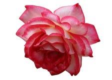 Lush zwahlen rose. Zwahlen lush rose on a white background Stock Images