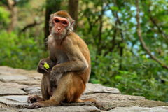 Lushan monkey eating fruit. Eastphoto, tukuchina,  Lushan monkey eating fruit Royalty Free Stock Photo