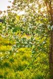 lushly bloeiende boom met een zonlicht Royalty-vrije Stock Foto