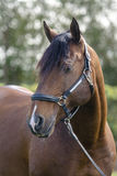 Lusitan häst Arkivfoto