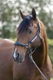 Lusitan Horse Stock Photo