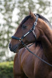 Lusitan horse. With trees behind Royalty Free Stock Photo
