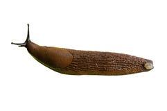 Lusitanicus espanhol do Arion do slug fotografia de stock