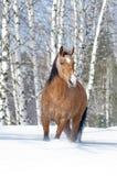 lusitano лошади Стоковое Изображение