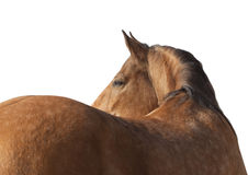Lusitano horse Royalty Free Stock Photography