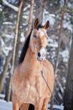 Lusitano horse. Portrait in winter Stock Image