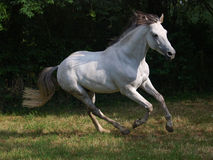 Lusitano Horse. A Lusitano canters loose in the paddock Royalty Free Stock Photos