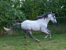 Lusitano Horse Royalty Free Stock Photos
