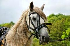Lusitano Horse Stock Image