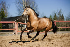 Lusitano horse in paddock royalty free stock image