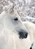 Lusitano horse pictured during a winter snowfall Stock Photos