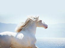 Lusitano horse portrait against sea background with backlight Stock Image