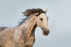 Lusitano horse portrait Stock Images