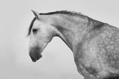 Lusitano horse portrait Stock Photos