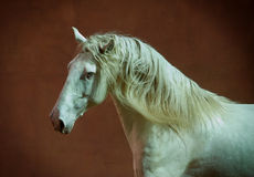Lusitano horse portrait with red wall behind Stock Photos
