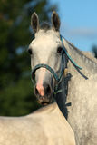 Lusitano horse portrait Royalty Free Stock Images