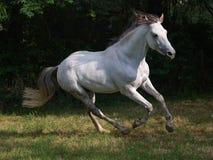 Lusitano Pferd Lizenzfreie Stockfotos