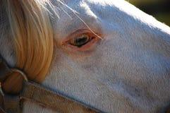 Lusitano Stallion Soul. Lusitano Stallion In Napa County Also in Wild Horse Valley Appellation Royalty Free Stock Photos