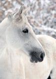 Lusitanopaard tijdens een de wintersneeuwval die wordt voorgesteld Stock Foto's