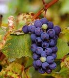Сluster of vine Stock Photo