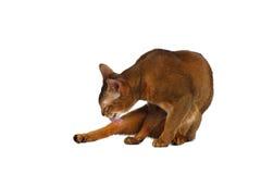 Lustige abyssinische Katze lecken den Pelz, der auf Weiß lokalisiert wird Stockfoto