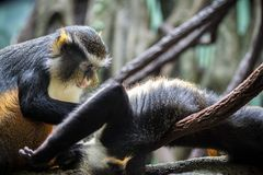 Lustige Affen Stockfotografie